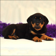 Gorgeous rottweiler puppies for loving homes