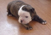 English Bulldog for  re homing , good looking puppy for sale
