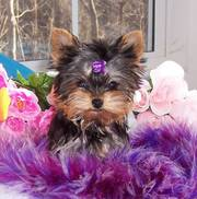 /Excellent Teacup Yorkie Puppies For Free Adoption