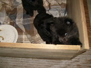 pomeranin puppy