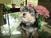 Sweet Male and Female puppy for sale