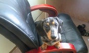 6 month old dachshund male