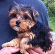 Absolutely Gorgeous Yorkshire Terriers Puppies & Adults Available!